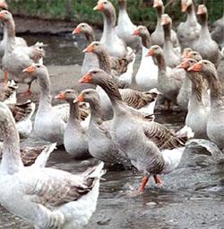 Разведение птицы как бизнес