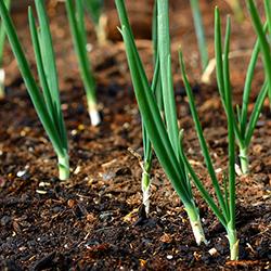 зеленый лук выращивание