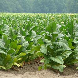 Бизнес-план выращивания табака