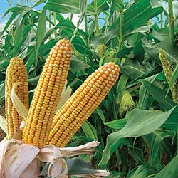 Бизнес-план выращивания кукурузы