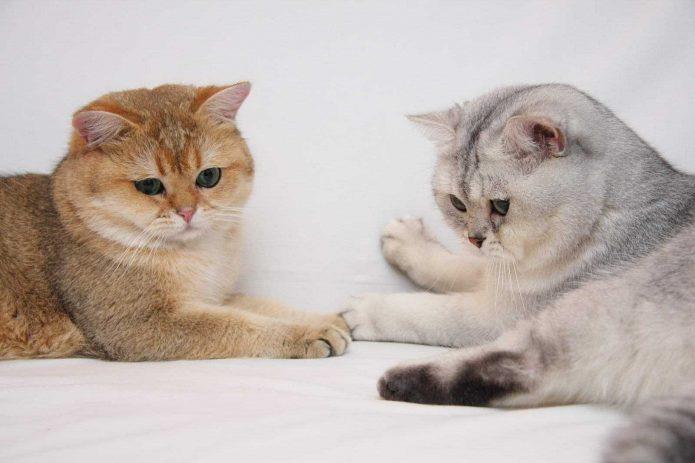 Британские короткошёрстные кот и кошка