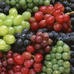 выращивание винограда в теплицах как бизнес