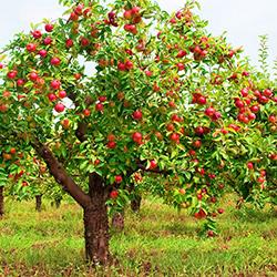 Бизнес-план яблоневого сада