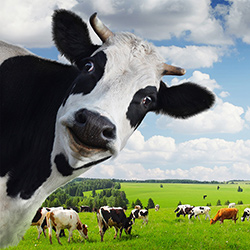 Разведение коров как бизнес