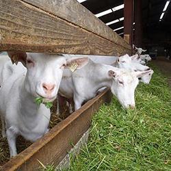 Козья ферма как бизнес