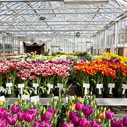Бизнес-план выращивания тюльпанов