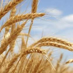 Бизнес-план выращивания пшеницы