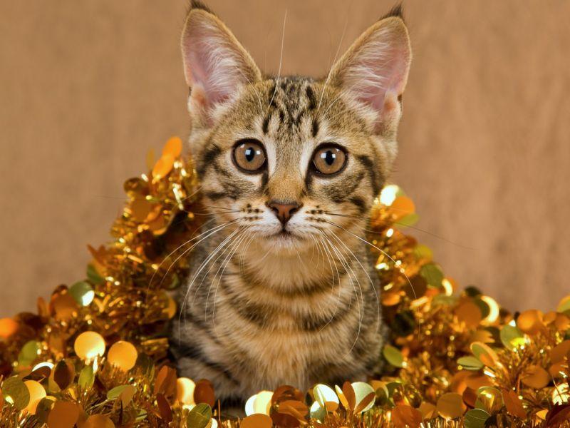 Самые дорогие кошки в мире: топ-10 с фото