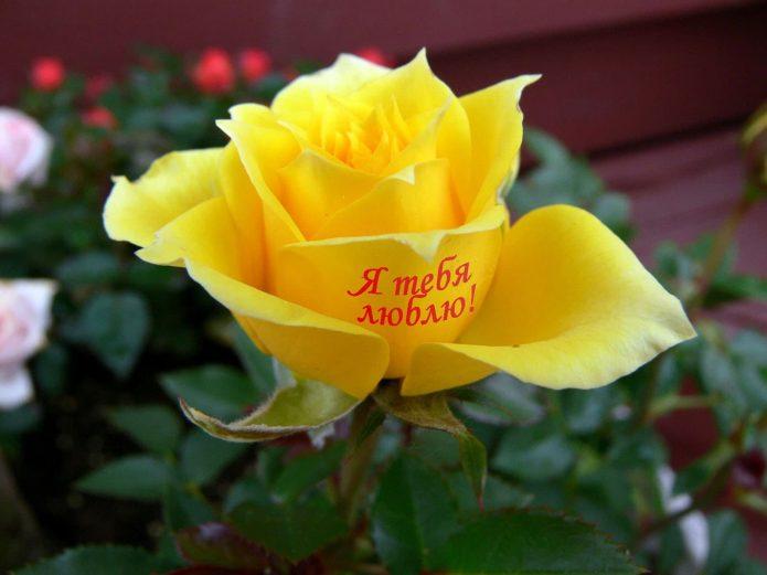 Жёлтая роза с надписью