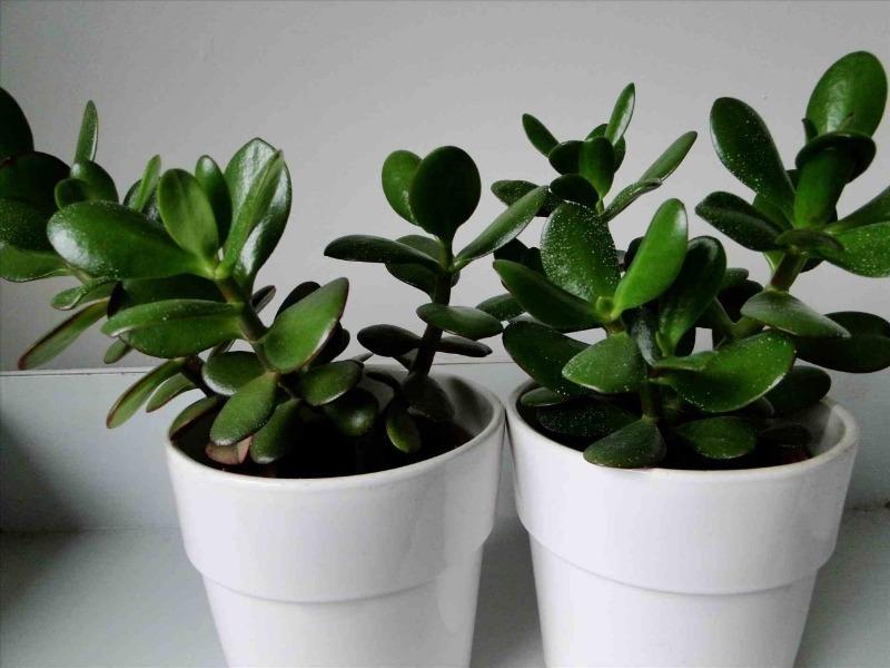 Денежные цветы: какие растения в доме и офисе притягивают финансовый успех